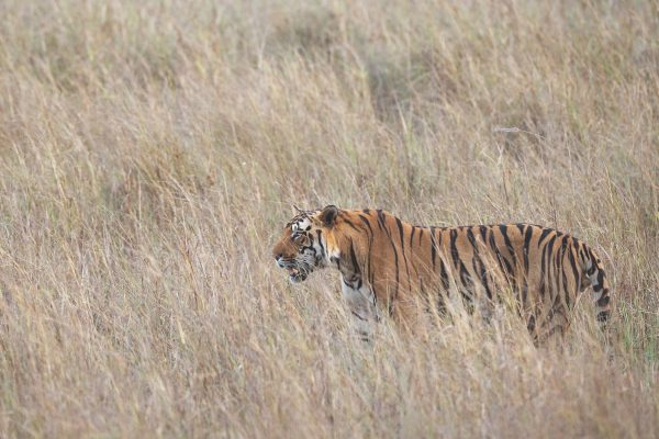 tiger endangered picture wild