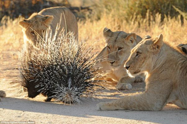 porcupine lion ennemy