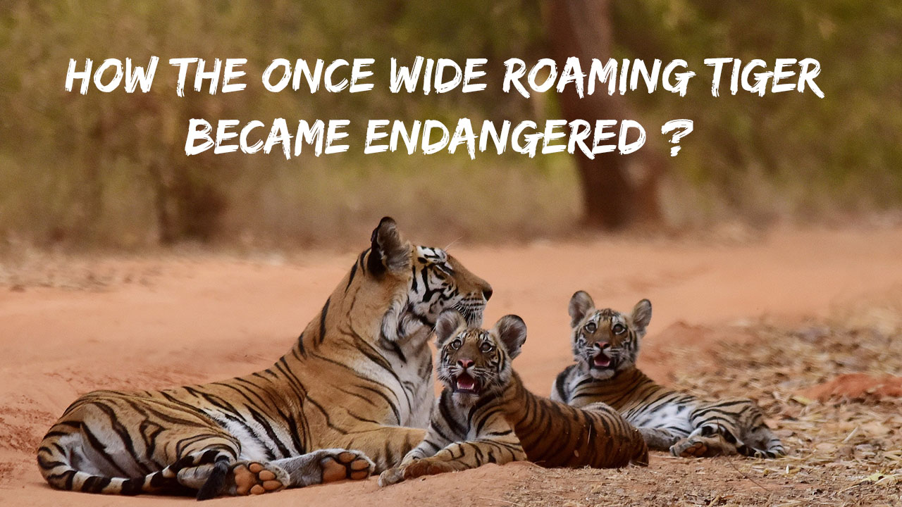 How the once wide roaming Tiger became endangered ? – Toco & Co